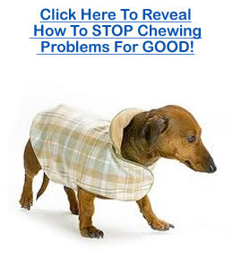 dachshund chewing