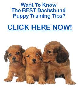Dachshund Puppy Training