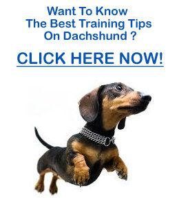 Dachshund Training Tips