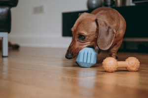 Toys for dachshunds - Why you should get toys for your dachshund.